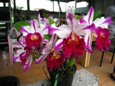 "Blc. Ann Cleo ""Star Stripes"""