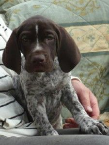 german shorthaired pointer puppies dallas