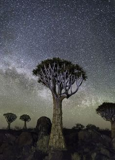 Some of the world's oldest living trees ((in Botswana, Namibia and  South Africa) photographed against the backdrop of the night sky by Beth Moon