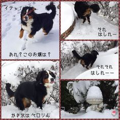 おおランダ犬っぽいぞ そして  どさくさに紛れて誰かさんもいるよわかる .  #雪遊び#ランちゃんと遊ぼう #berner #bigdog #bernese #bernersennen #berneroftheday #bernesemountaindog #dog #dog_features #dogoftheday8 #dogsofinstaworld #excellent_dogs #excellent_puppies #instadog #instadogmagazine #worldwidedogs #LANDA #lacyandpaws #snow #puppylove #puppyoftheday #puppyoftheday #バーニーズマウンテンドッグ . by dossowl