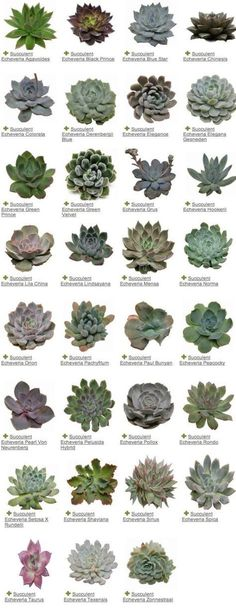 ideas succulent echeveria gardens for 2019 Succulents Tumblr, Types Of Succulents, Cacti And Succulents, Planting Succulents, Planting Flowers, Cactus Plants, Garden Types, Garden Art, Garden Plants