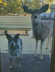 Very interesting post: Funny Animals - 28 Pictures. Also dompiсt.сom lot of interesting things on Funny Animals. Aussie Cattle Dog, Austrailian Cattle Dog, Animals And Pets, Funny Animals, Cute Animals, Cute Animal Pictures, Dog Pictures, Funny Pictures, Funniest Pictures