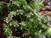 climbing Hydrangea  full shade