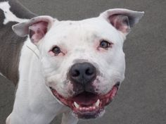 TO BE DESTROYED 12/12/13  Brooklyn Center -P   My name is LANCELOT. My Animal ID # is A0986515.  I am a male white and gray pit bull mix. The shelter thinks I am about 2 YEARS    I came in the shelter as a STRAY on 12/03/2013