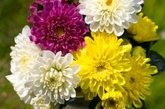 "Chrysanthemum ""Rosanna"" - WPK Vegetable Plants"