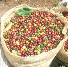 After Costa Rica's independence from Spain in 1821, the municipal government gave away free coffee seeds to encourage production! (Photo: MR)  #FabFactFriday #coffeeiseducational #COTM #CoffeeOfTheMonth #costarica #fairtrade #FreshCoffee #coffee #caffeine #coffeeaddict #coffeelovers #freshlyroasted #coffeebeans #qualitybeans #zabucoffee #coffeetime #coffeebreak