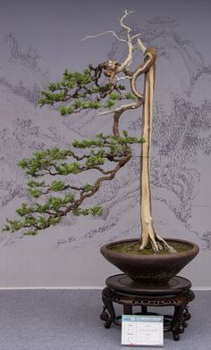 A formal upright w/ the main branch cascading to rim of tapered round pot. Interesting choice of pot