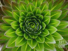 A Giant Lobelia Plant Photographic Print by George F. Mobley at Art.com