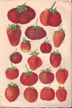 """antique strawberries illustration - Ernst Regel - from """"Die Himbeere und Erdbeeren"""", 1866"""