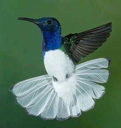 White-necked Jacobin is a large hummingbird that ranges from Mexico south to Peru, Bolivia and south Brazil. It is also found on Tobago and in Trinidad by Eliane Dos Anjos Pretty Birds, Love Birds, Beautiful Birds, Animals Beautiful, Cute Animals, Exotic Birds, Colorful Birds, Animal Original, Kinds Of Birds