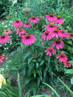 I am so impressed with the amount of blooms on this two year old Razzmatazz coneflower. Birmingham Gardening Today