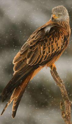 Red Kite (Milvus milvus), rode wouw, by Henrik Just Kinds Of Birds, All Birds, Birds Of Prey, Love Birds, Pretty Birds, Beautiful Birds, Animals Beautiful, Beautiful Pictures, Exotic Birds