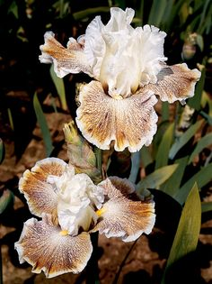 Owyhee Desert | Tall Bearded Bloom Season: Midseason late Fragrant: Yes Rebloom: No Owyhee Desert's relatively small flowers have good ruffled and flared form and are blessed with an inviting fragrance. The quiet charm of this uniquely colored plicata has quickly garnered attention. Its white falls are overlaid with a rusty brown wash and violet stippling.