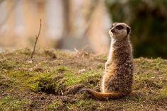 meerkats are the best animals ever.