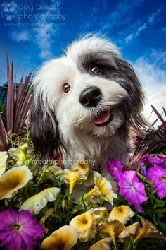 A Friend in the Flowers - Oh my gosh, this past week I got to photograph my first ever Tibetan Terrier and it was GLORIOUS!  Say Hello to gorgeous Abby! I dare you not to smile when you look at this squishy face. (I'm telling you, it's impossible.) :P We had the most perfect Summer afternoon together adventuring through the Boston Common. We found these amazing flowers and Abby was happy to hop right in! I am running around doing about five hundred and fifty million things today (that's the…