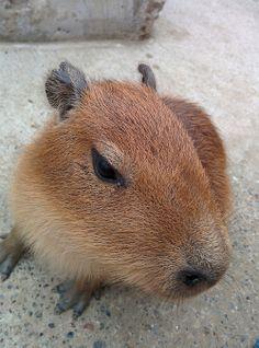 Capybara - world's largest rodent