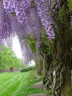 Biltmore Estate Gardens - North Carolina.. Wisteria Vine. They bloom all over the Southland..