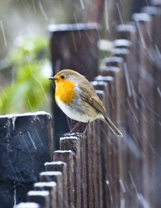 Bird on the fence, getting wet, in a mild rain