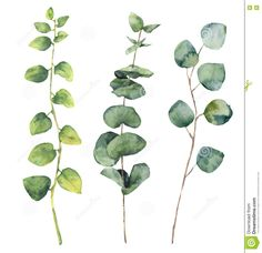 Image result for Eucalyptus Watercolor
