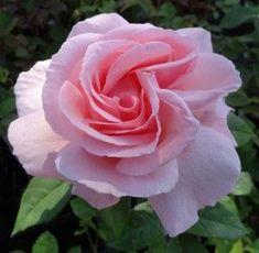 Gorgeous Hybrid Tea Roses ~