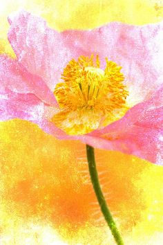 Pink Poppy On Yellow Print By Carol Leigh
