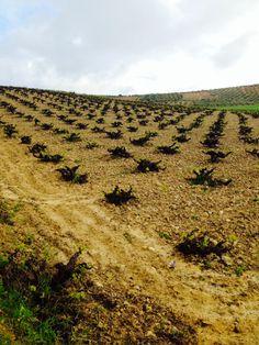 Estado del Viñedo de Montilla-Moriles el día 01 de abril de 2014 (1)
