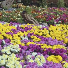 Chrysanthemum flowers are a variety of colors.