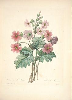 gravures de fleurs par Redoute - Gravures de fleurs par Redoute 110 primevere de…