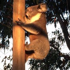 Koala in my front yard #koala#wildlife#australianwildlife#aussie#sunset#upclose#bigboy#lovewhereilive#warrnambool#victoria#australia#kby#love#cutenotcuddly#gumtree#tree#animal#wild#free#fram by kbyzfavpics