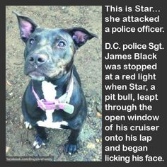 This rocks! Animals And Pets, Funny Animals, Cute Animals, I Love Dogs, Cute Dogs, Pitbulls, Pit Bull Love, Losing A Dog, Pitbull Terrier