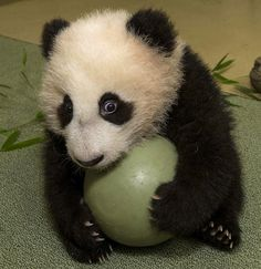 The San Diego Zoo's panda cub, Xiao Liwu, holds onto a plastic ball tightly. Panda keepers gave the cub the new toy to test his coordination and encourage him to play with new objects