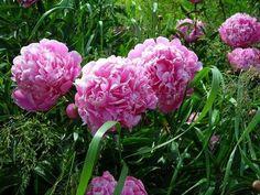 Pfingstrosen wachsen an mehreren Stellen im Garten.