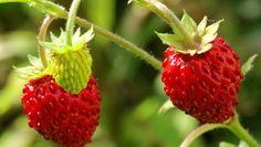 Il perché di frutti di bosco, le fragole e oggetti nel quotidiano 6