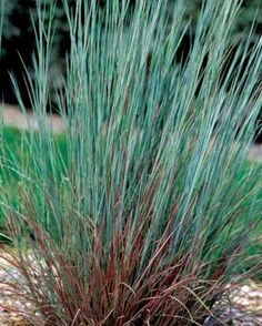 The blues 39 little bluestem schizachyrium scoparium 39 the for Short ornamental grasses full sun