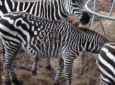 22.) Crazy zebra strip pattern.