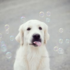 golden retriever photography by www.goldenstars.cc