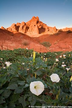 Valley of Fire State Park Photos Nevada (moon flowers ) Wild Flower Meadow, Wild Flowers, Las Vegas, Valley Of Fire State Park, Park Photos, Amazing Nature, Beautiful Landscapes, The Great Outdoors, Wonders Of The World