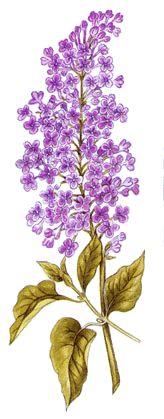 Operagastro > Ricette coi fiori: Pasticcini di lilla'.