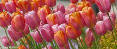 Tulip Passing Fancy ™   Southern Recommended Bulbs for Sale   COLORBLENDS