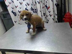 This DOG - ID#A462892 - located in Harris County Animal Shelter in Houston, Texas - 10 WEEK OLD Neutered Male Lab Retriever/Siberian Husky mix - at the shelter since Jul 12, 2016.
