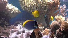 Powder Blue SurgeonFish and some other cute fishes!