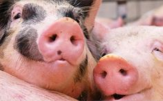 Pigs Endure Stressful Testing, But Prove They Care Deeply About Each Other - - - Knowing how intelligent pigs are, scientists from Wageningen University in the Netherlands conducted experiments with groups of pigs to find out what level of empathy they experience for one another. It turns out, they feel quite a lot of it.