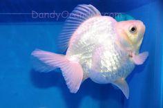 glorious metallic white ryukin #goldfish #aquarium
