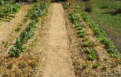 La pacciamatura, come e perché   InOrto - Guida all'orto fai-da-te. Istruzioni e consigli per coltivare le tue verdure