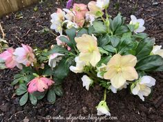 Helleborus Winter, Shade Perennials, Winter Time