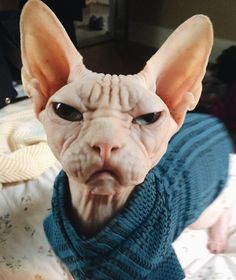 10 Sphynx Cats You Need to Follow on Instagram - Pets Tips & Advice | mom.me If grumpy cat were hairless