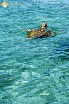 The famous Green Turtle  after which the island got its name. Photographed in the split second when they surface for air.