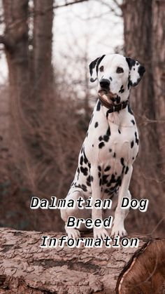 dalmatian dogs dalmatian dalmatian puppy dalmatian party pet dogs puppy dalmatian baby dalmatian puppies adopting a dog dalmatian puppy facts puppy dog pet dogs breeds dog breed mixes pets dogs puppies Dalmatian Breed, Puppy Facts, Chihuahua Dogs, Pet Dogs, Doggies, Pets, St Bernard Dogs, Terrier Dog Breeds, Dogs