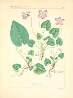 'April' Violets (Viola).