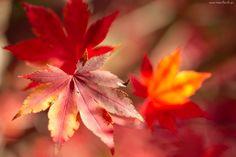 Jesień, Kolorowe, Liście, Makro